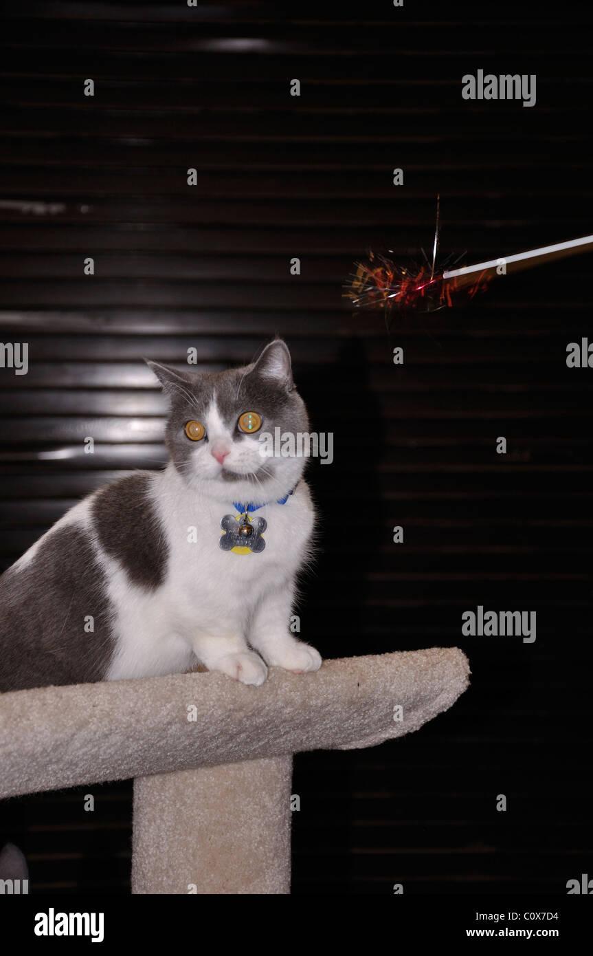 Cat show, Waco, Texas, USA - Munchkin cat breed - Stock Image