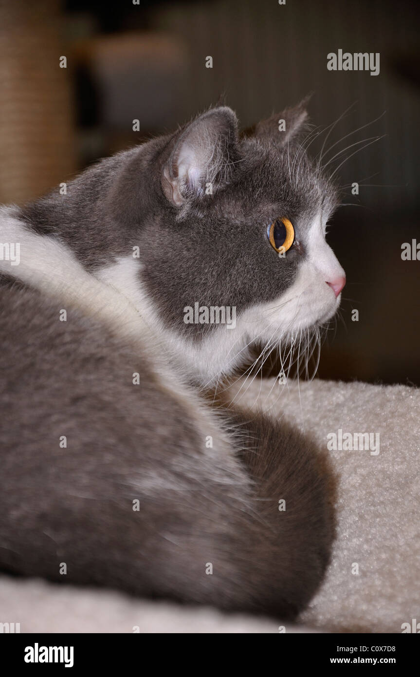 Munchkin cat breed - Stock Image
