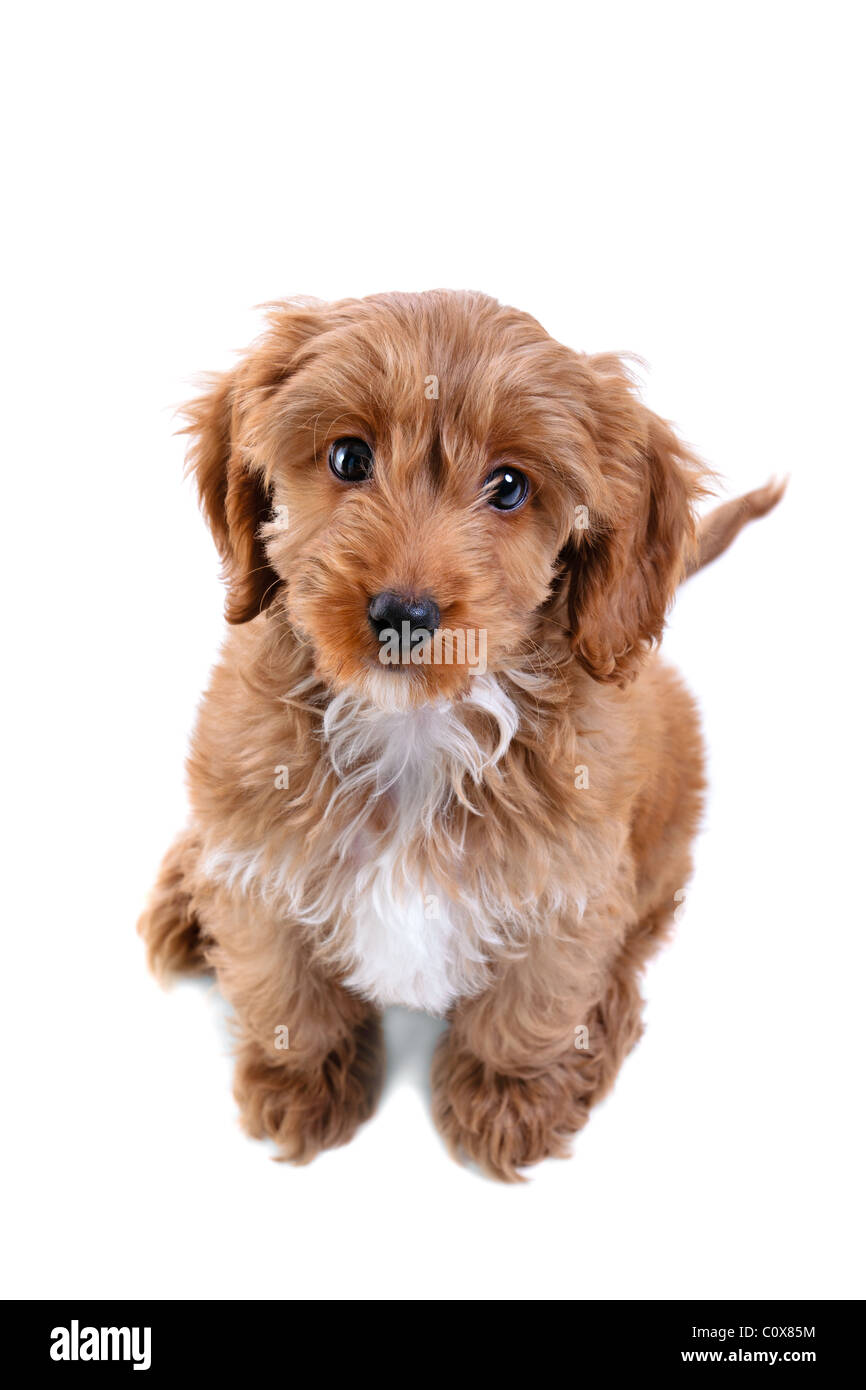 Photo of an 11 week old male red and white Cockapoo puppy - Stock Image