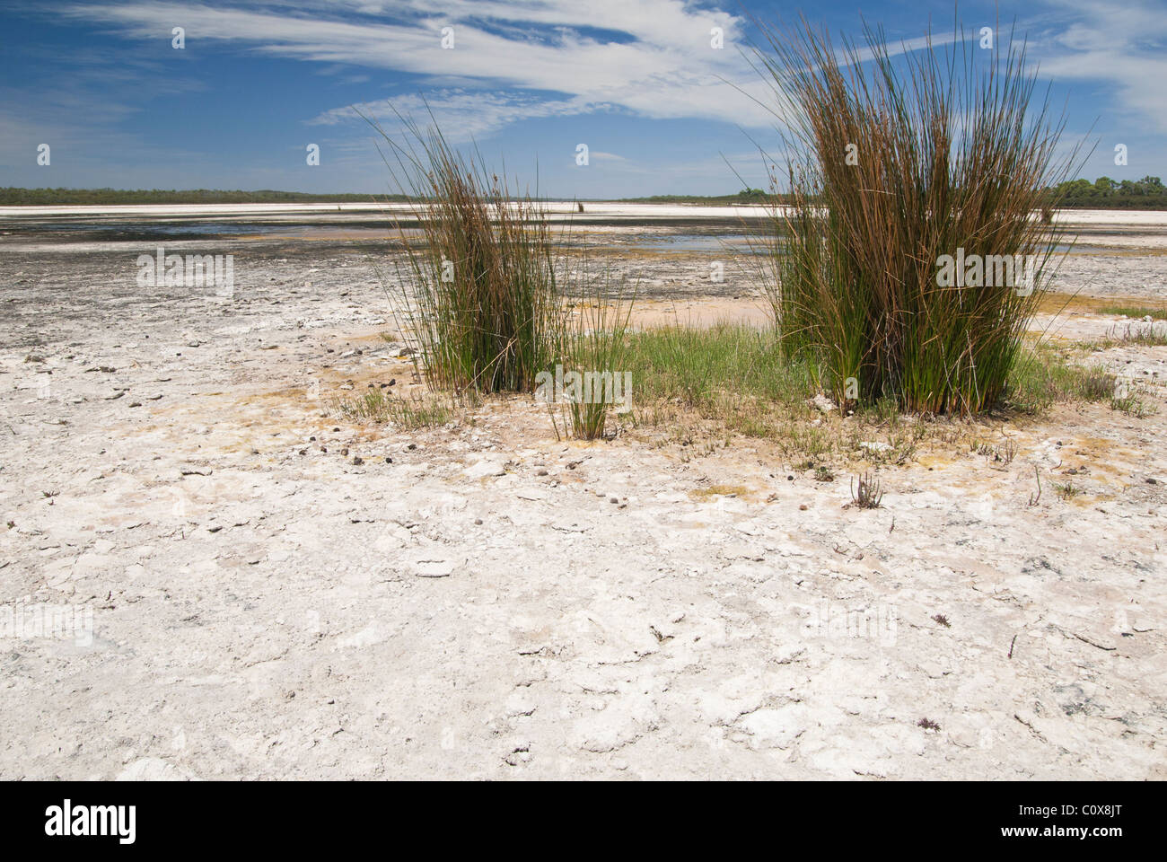 Salt tolerant grass growing from the dry lake bed of Lake Preston in Western Australia Stock Photo