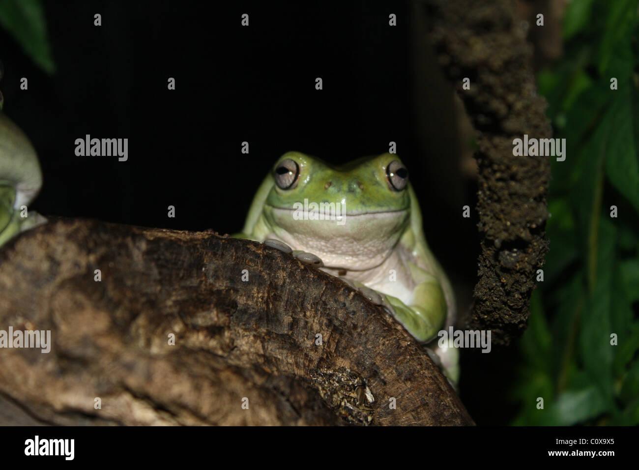 Bug eye green frog giving the camera a smile. :-) - Stock Image
