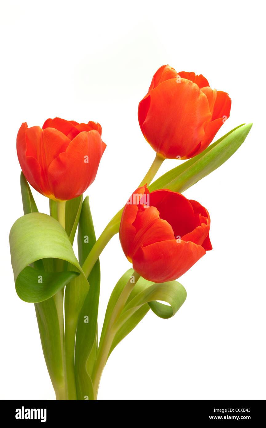 bunch bouquet of tulip flowers Stock Photo