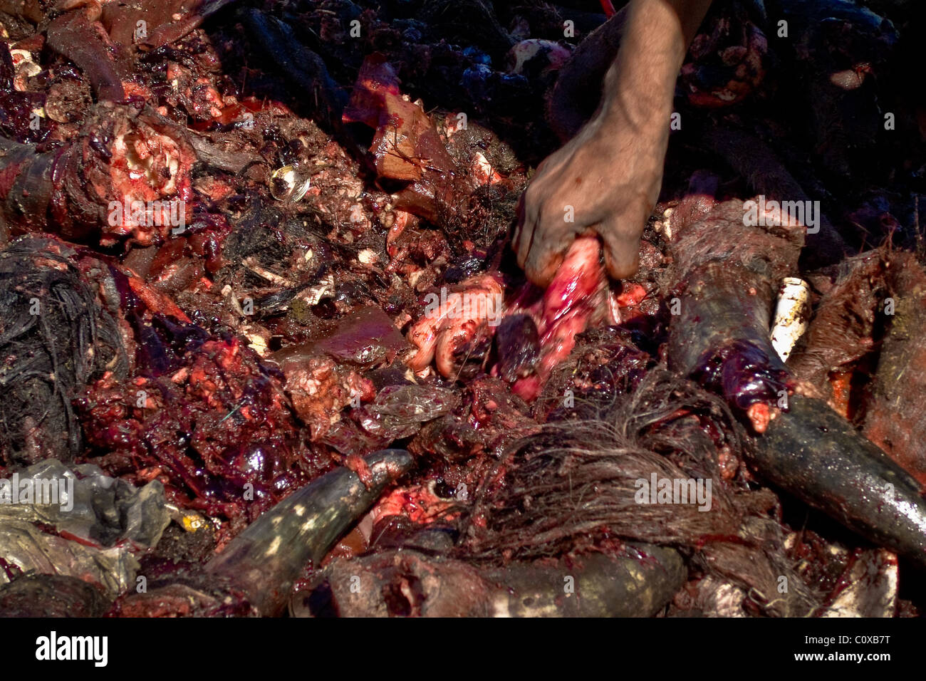 A Nicaraguan man searches for meat in a bloody pile of thrown intestines in the garbage dump La Chureca, Managua, - Stock Image