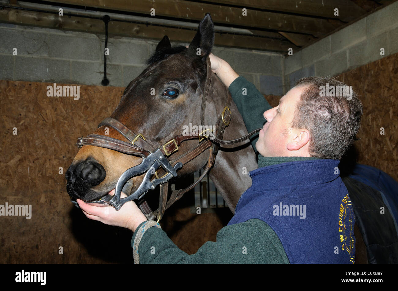Horse dentist adjusting a stainless steel mouth speculum into the horse's mouth ready to file teeth. The mouth - Stock Image