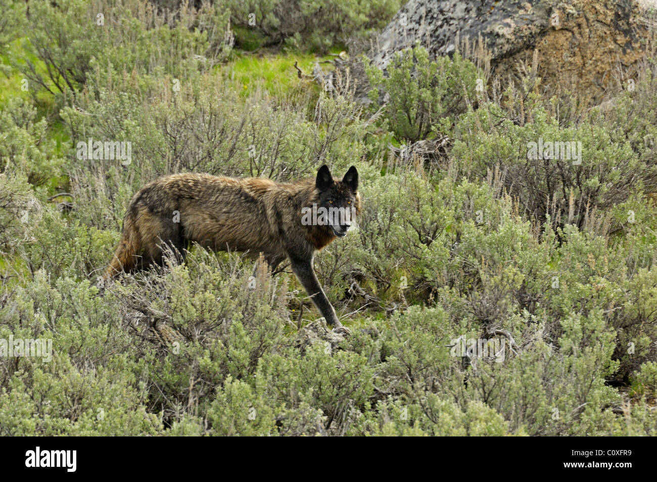 Black Wolf on the Move - Stock Image