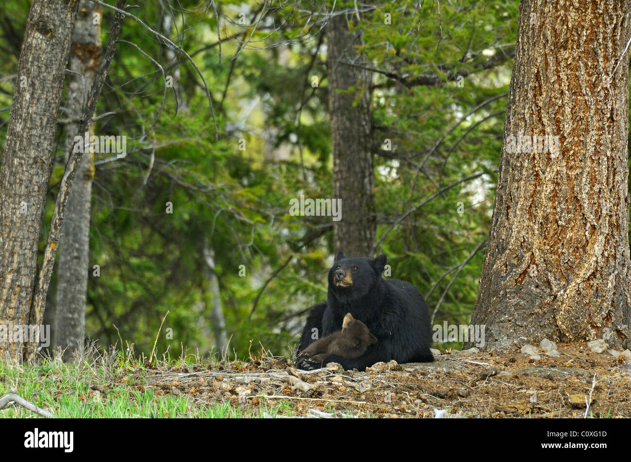 Black Bear Mother's Love - Stock Image