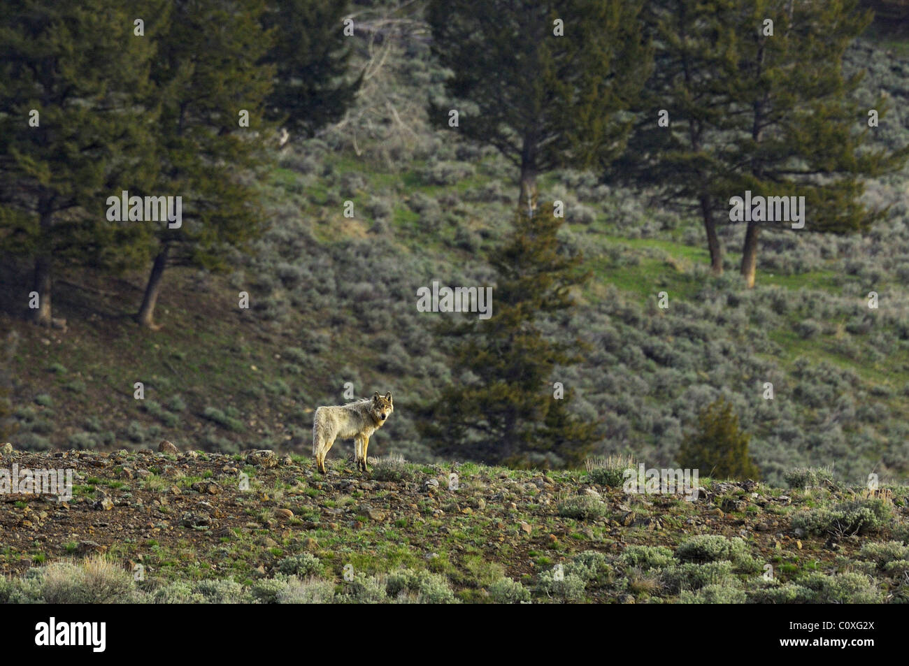 A gray wolf on a high ridge in Yellowstone - Stock Image