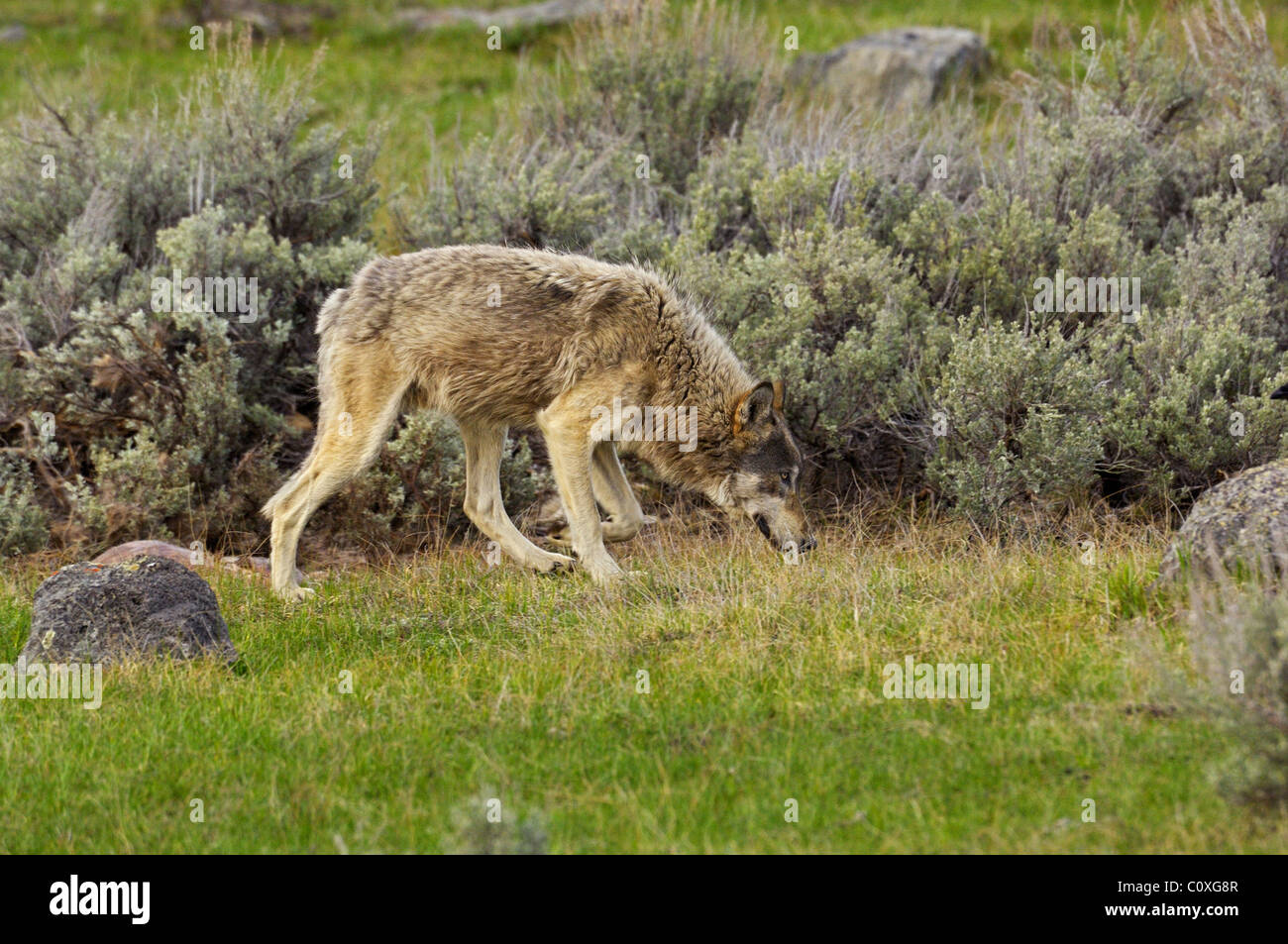 Gray Wolf Sniffing - Stock Image