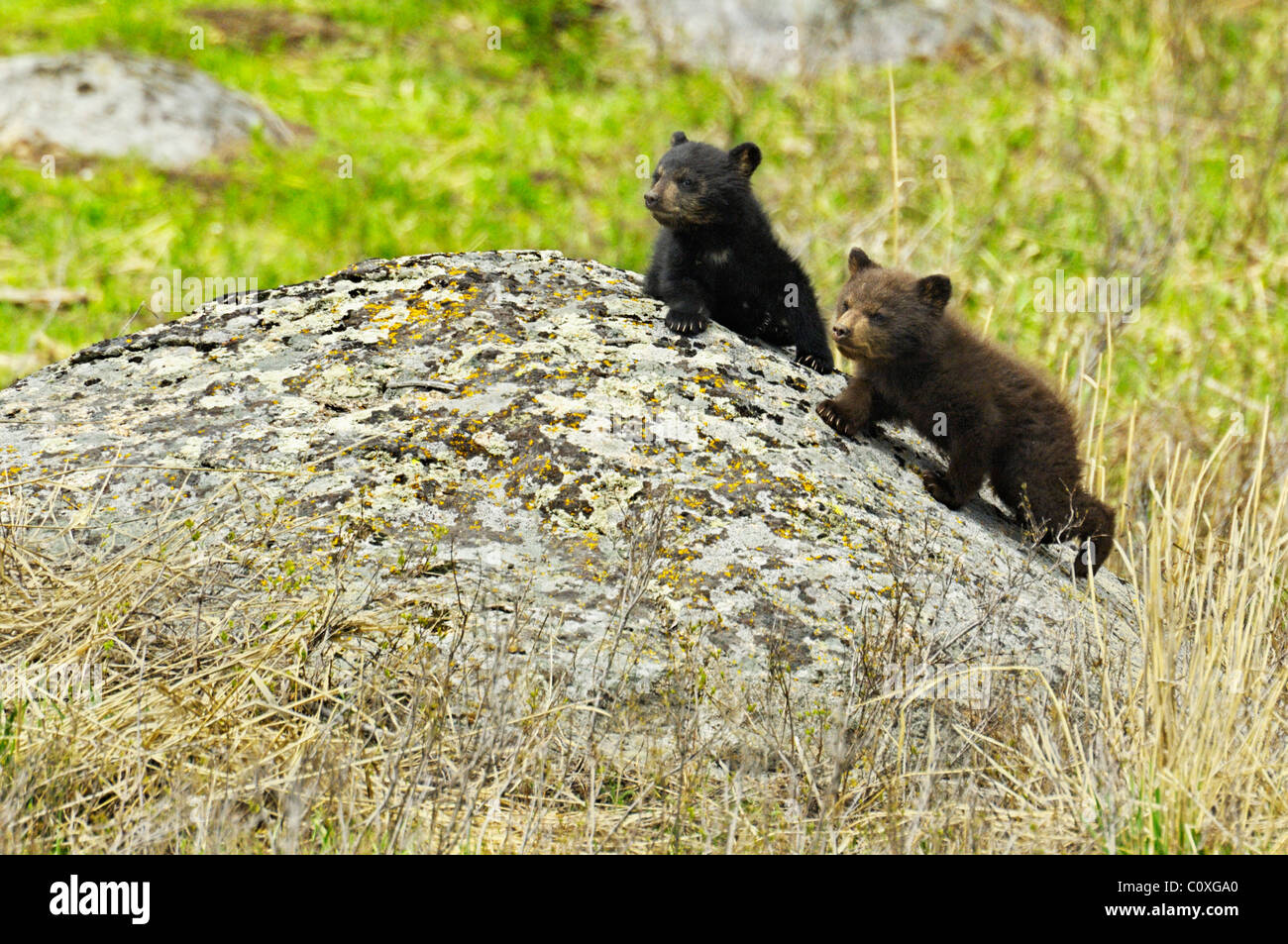 Cinnamon and black bear cubs on boulder - Stock Image
