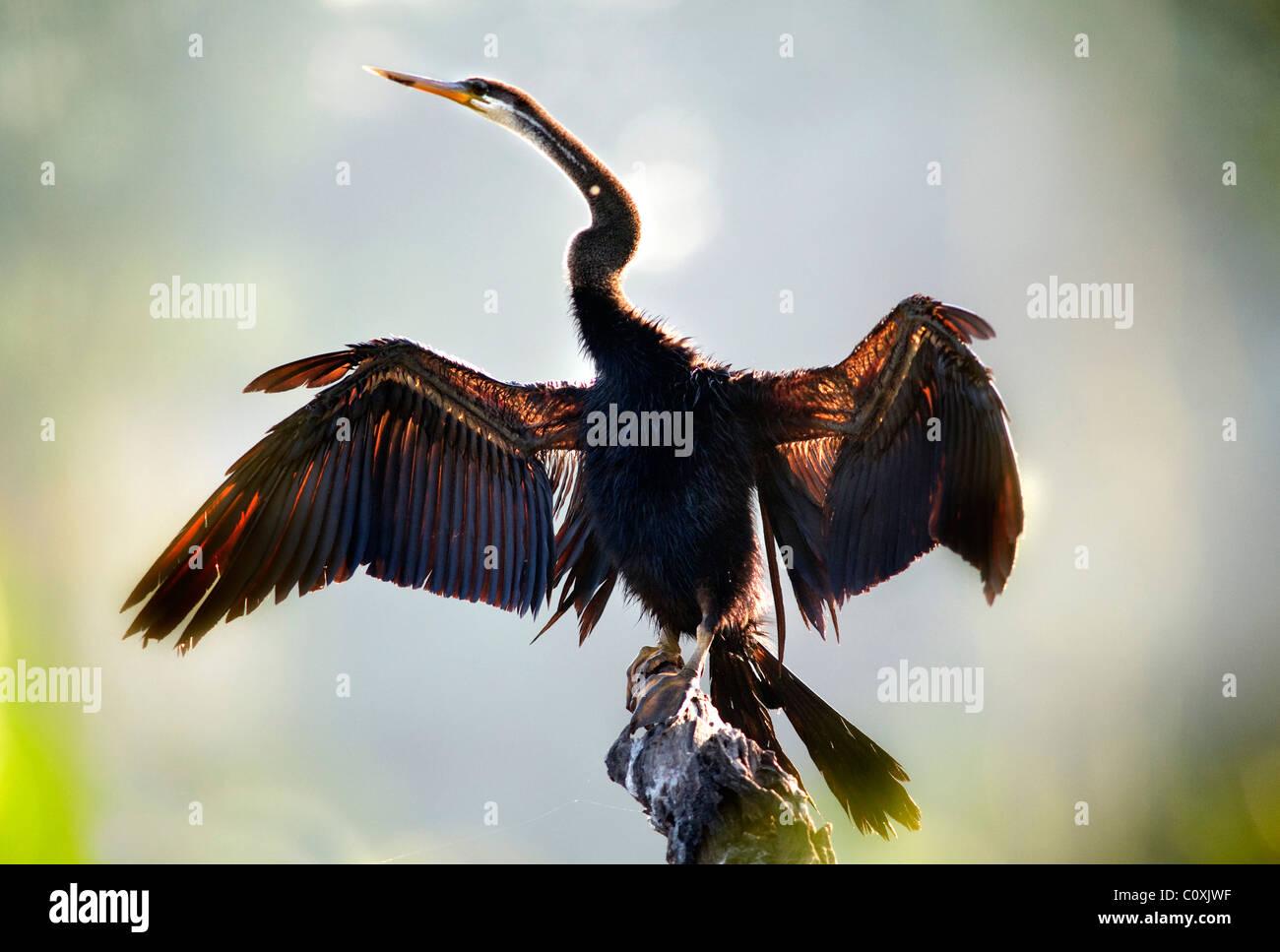 Indian or Asian Darter Anhinga melanogaster drying wings India - Stock Image