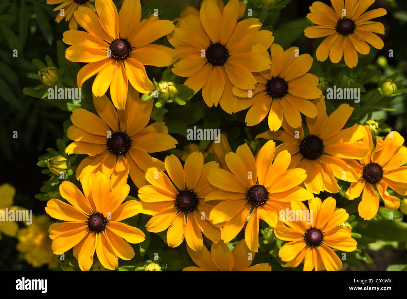 Field of yellow Coneflower Echinacea paradoxa, Germany - Stock Image
