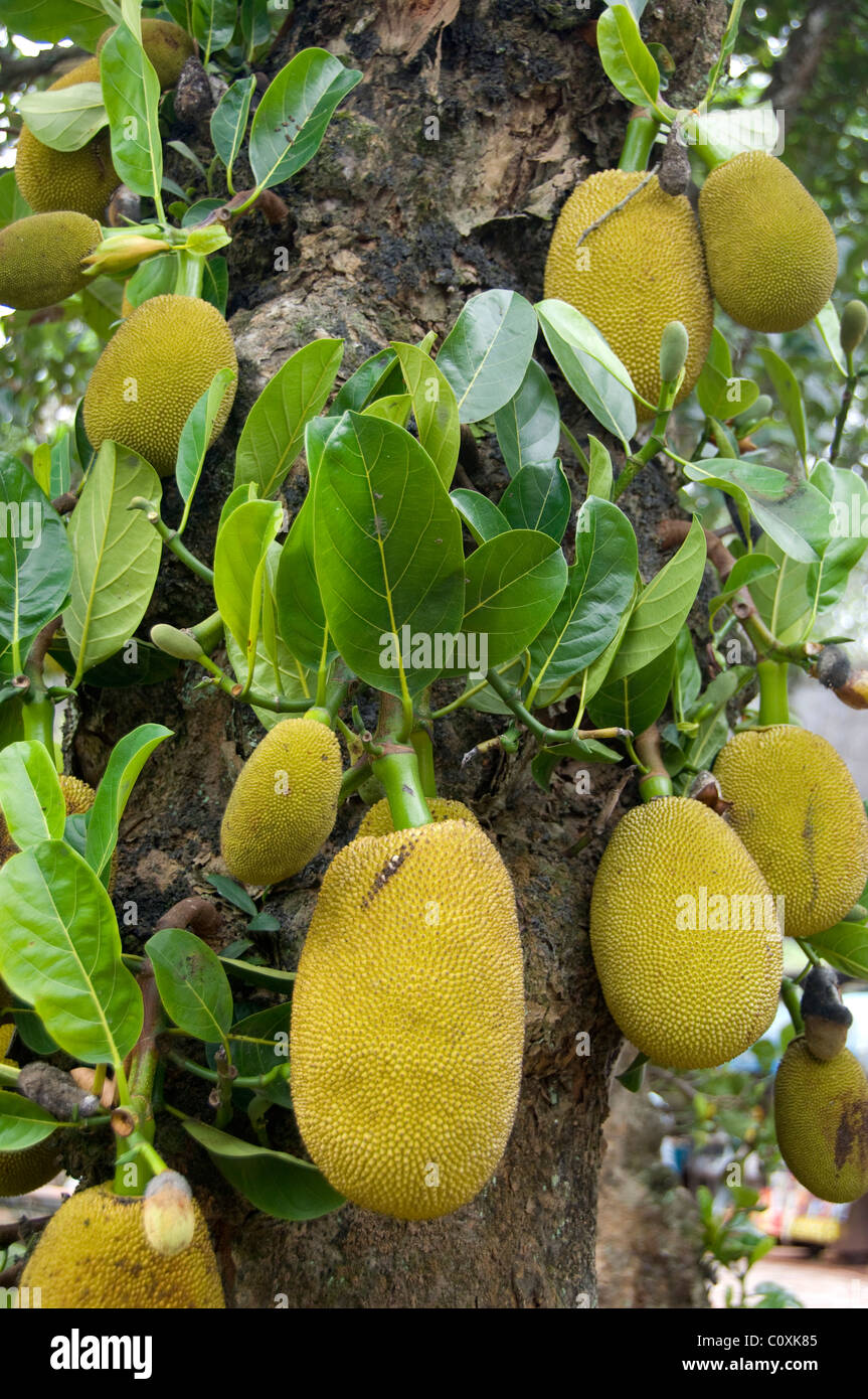 Asia Vietnam Da Nang Old Imperial Capital City Of Hue Jackfruit Stock Photo Alamy