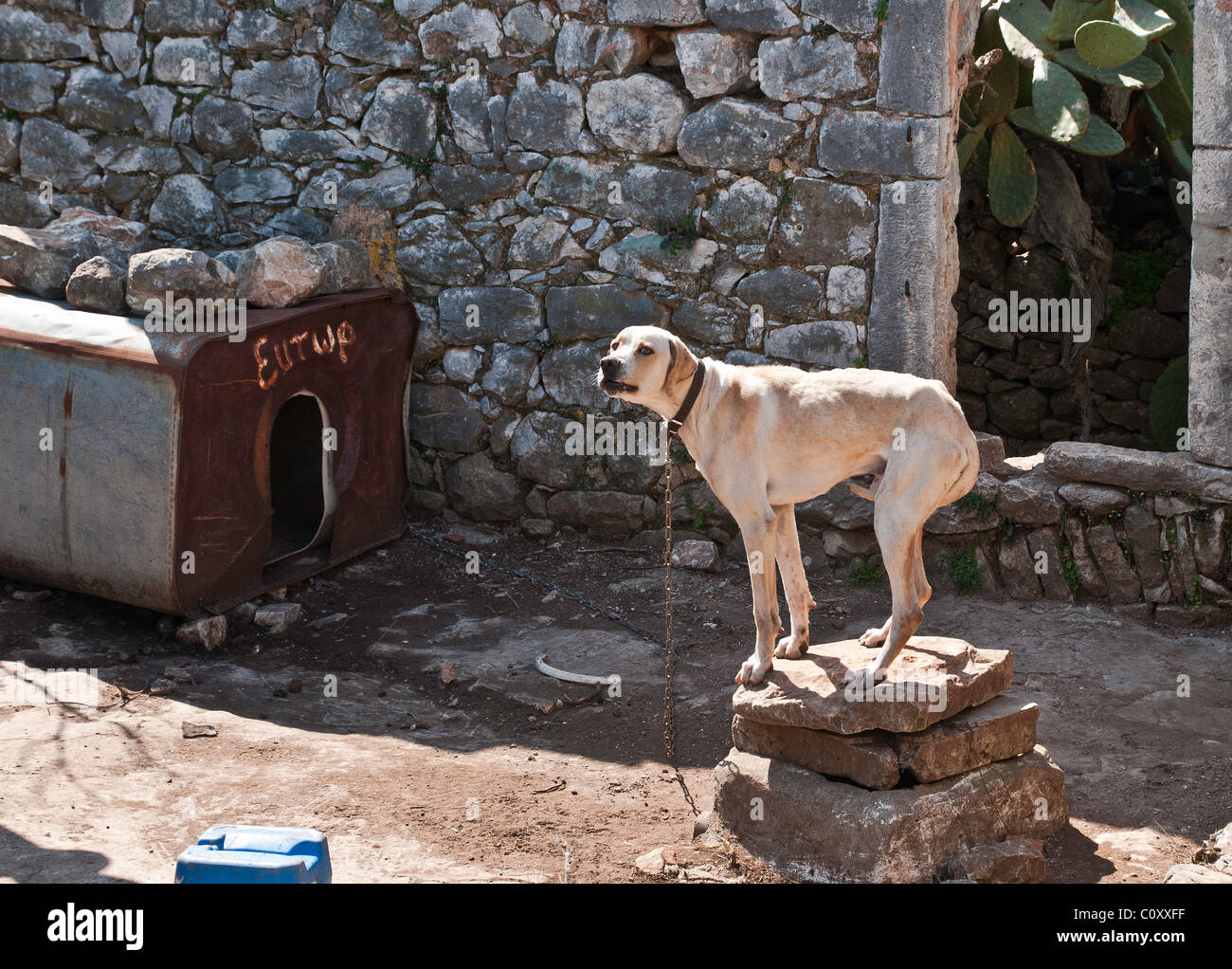 Angry, scared dog with tail between its legs, Mani, southern Peloponnese, Greece - Stock Image