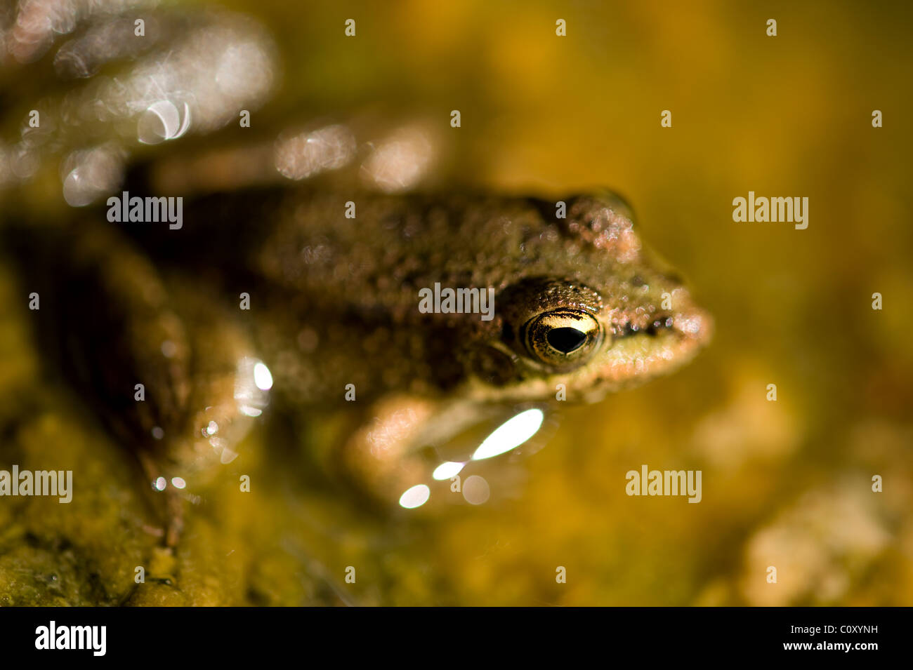 Macro image of pool frogs eye partially above water level in pond - Stock Image