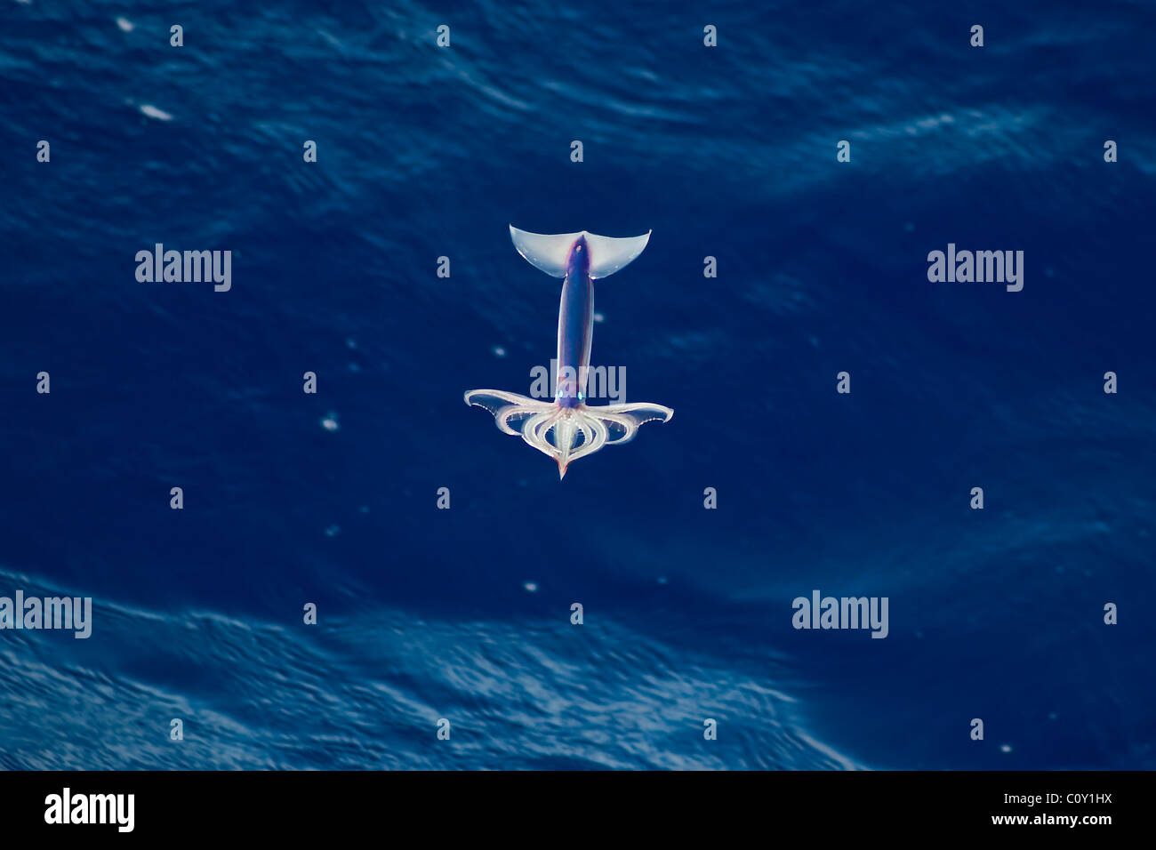 Very rare image of a Neon Flying Squid (Ommastrephes bartramii) in mid-air, South Atlantic Ocean. - Stock Image