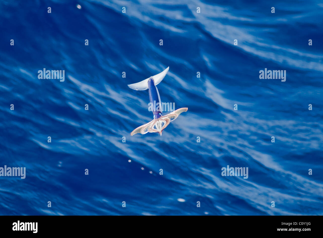 Very rare image of a Neon Flying Squid Species (Ommastrephes bartramii) in mid-air, South Atlantic Ocean. - Stock Image