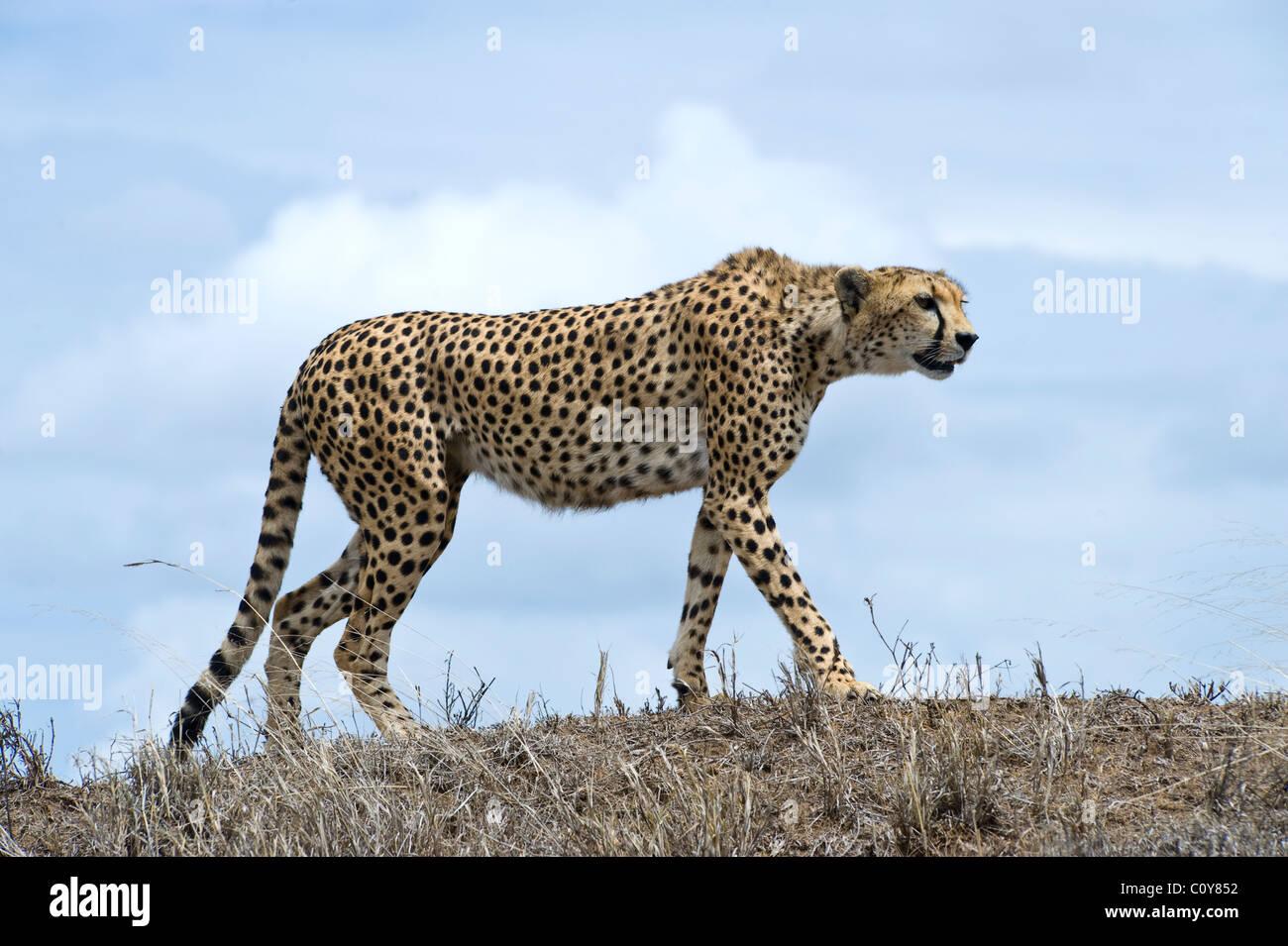 Female cheetah, Acinonyx jubatus, searching for prey, Simba Kopjes, Serengeti, Tanzania - Stock Image
