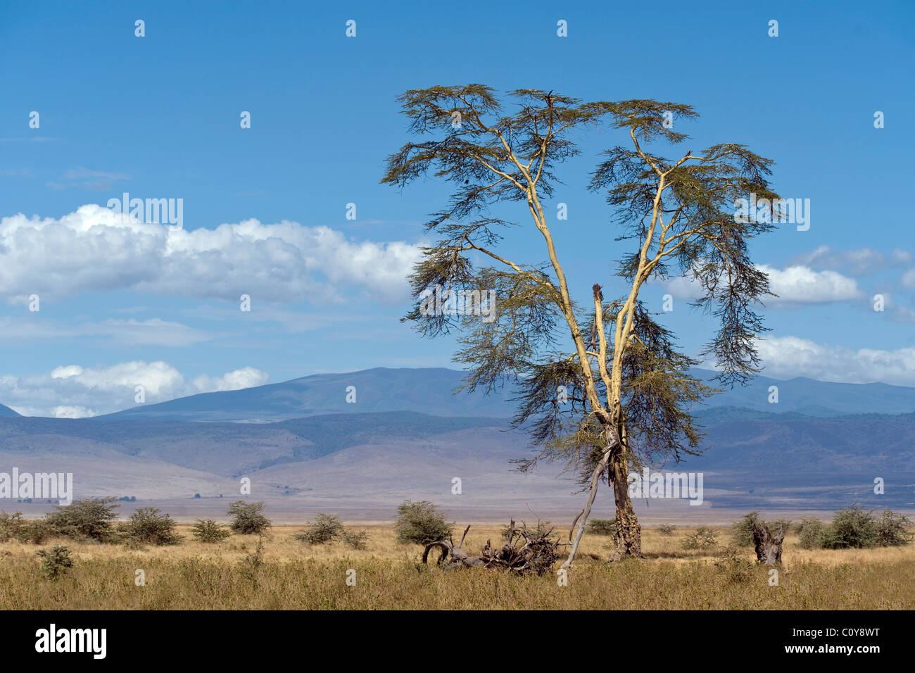 Yellow barked Acacia , Acacia xanthophloea, in Ngorongoro Crater Tanzania - Stock Image