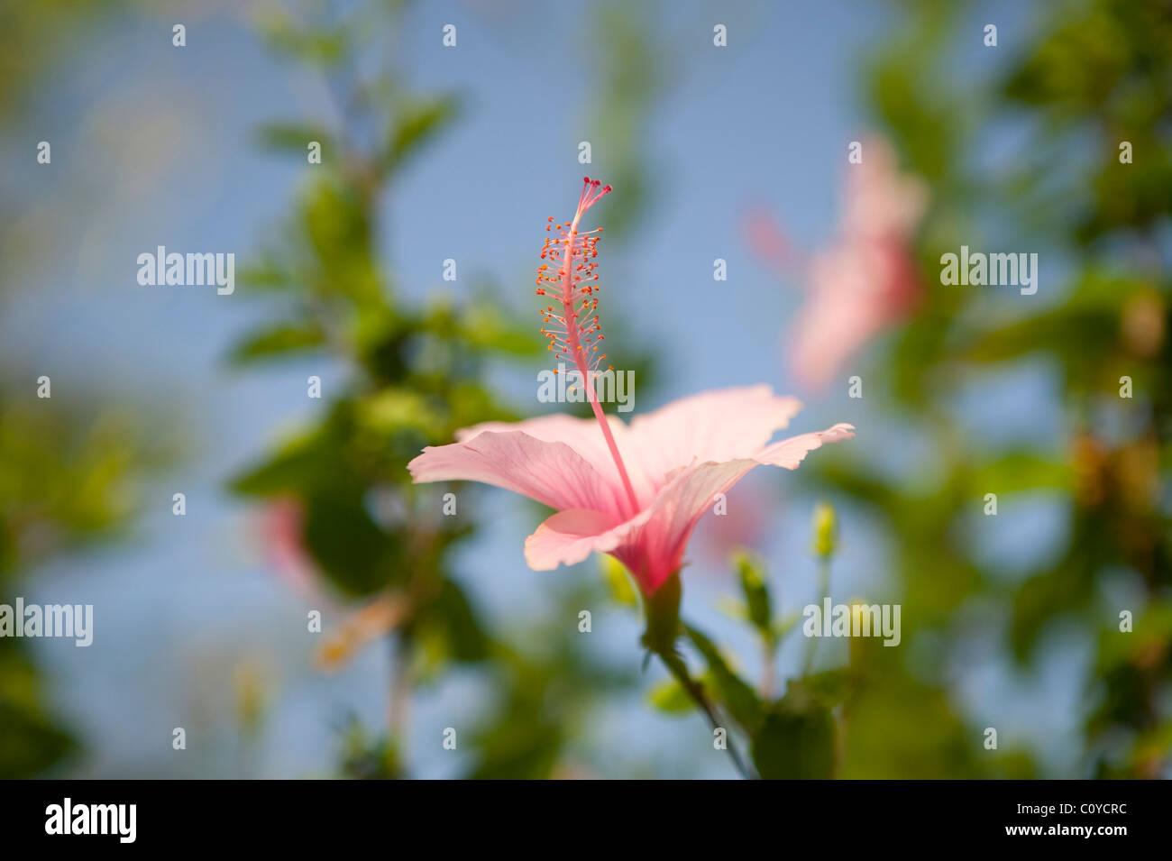 Pink Hibiscus flower, Ocho Rios, Jamaica - Stock Image