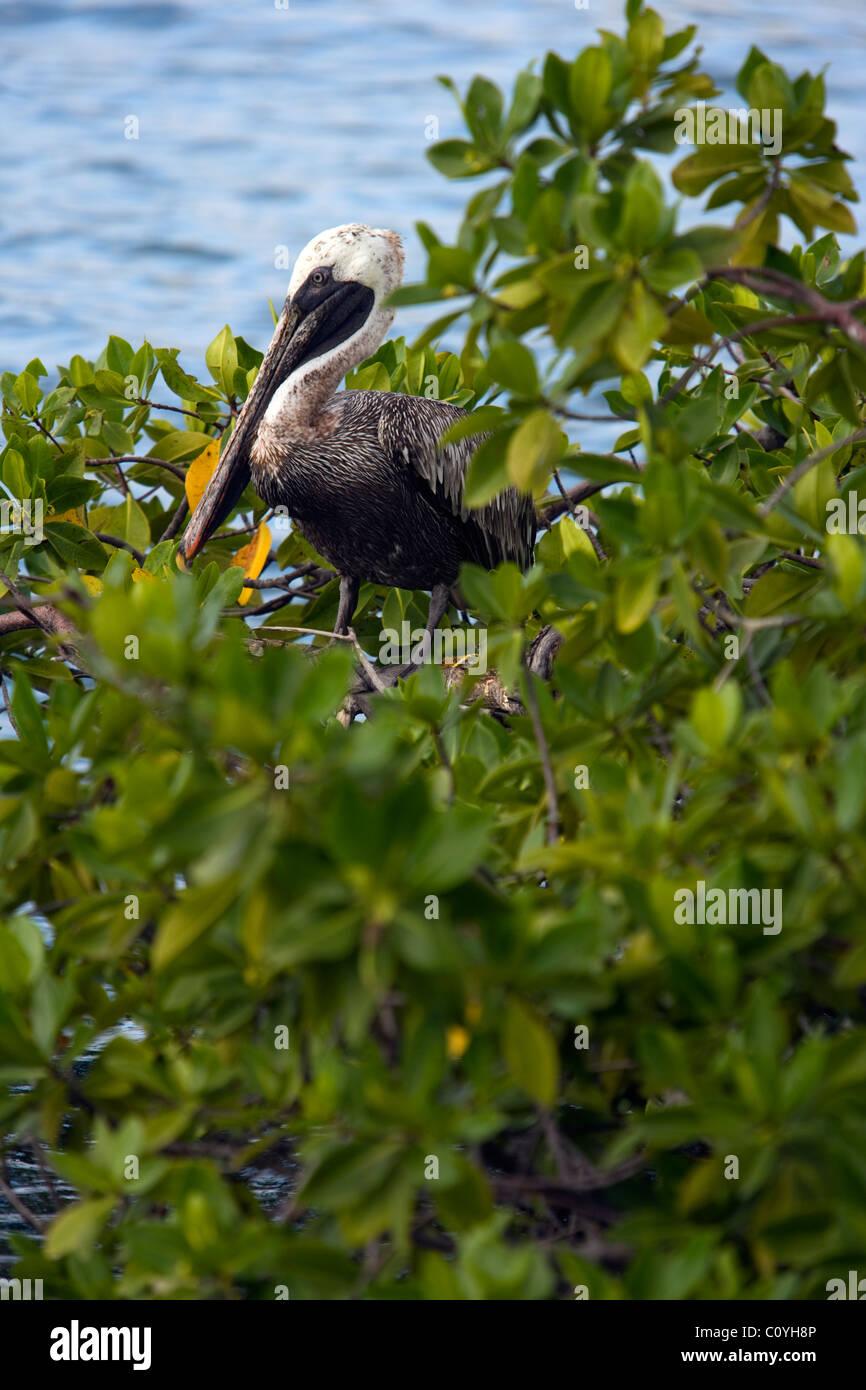 Brown Pelican - Santa Cruz Island - Galapagos Islands, Ecuador Stock Photo