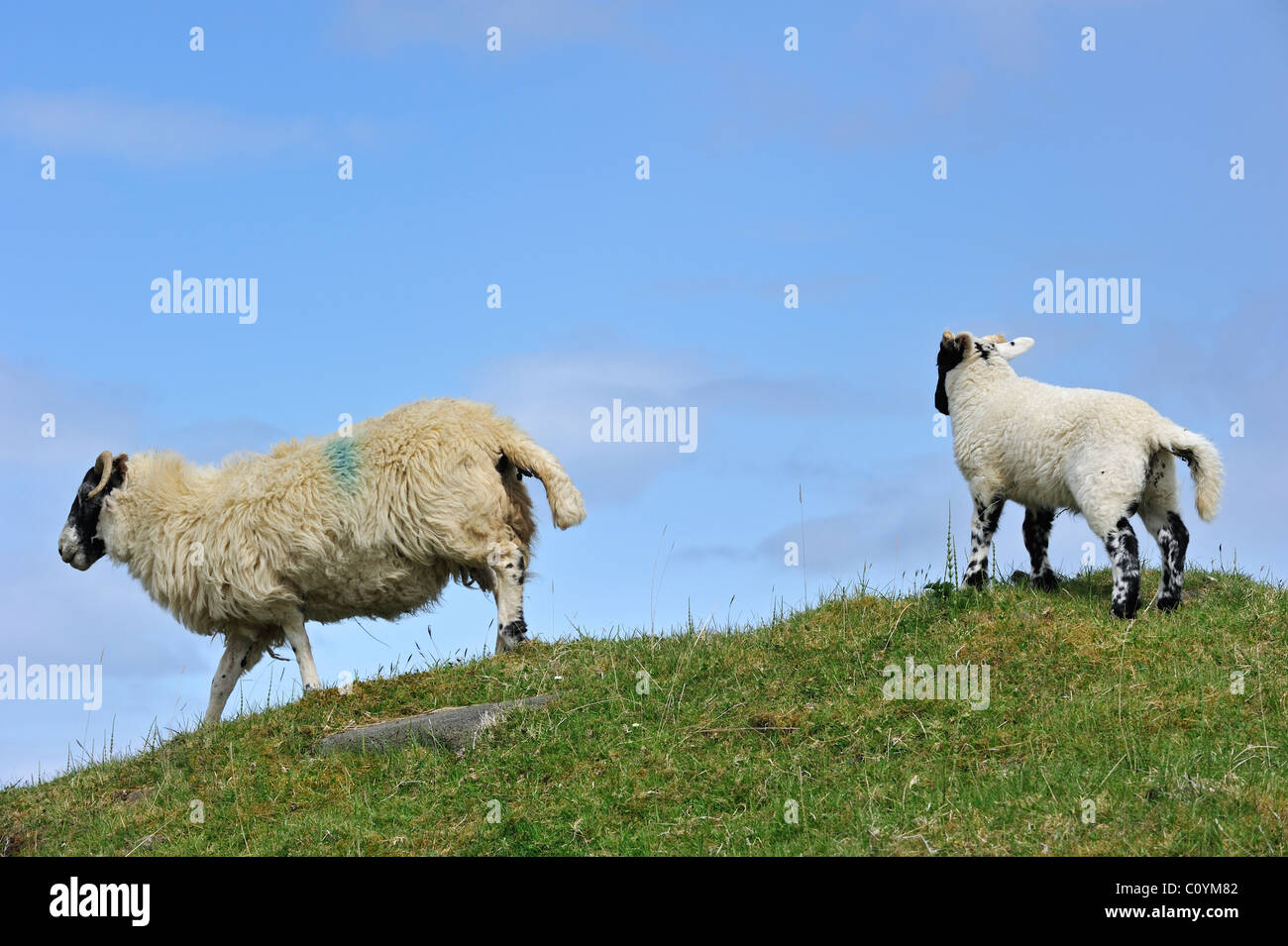 Scottish Black Faced / Blackface Sheep (Ovis aries) ewe and lamb in the Highlands, Scotland, UK - Stock Image