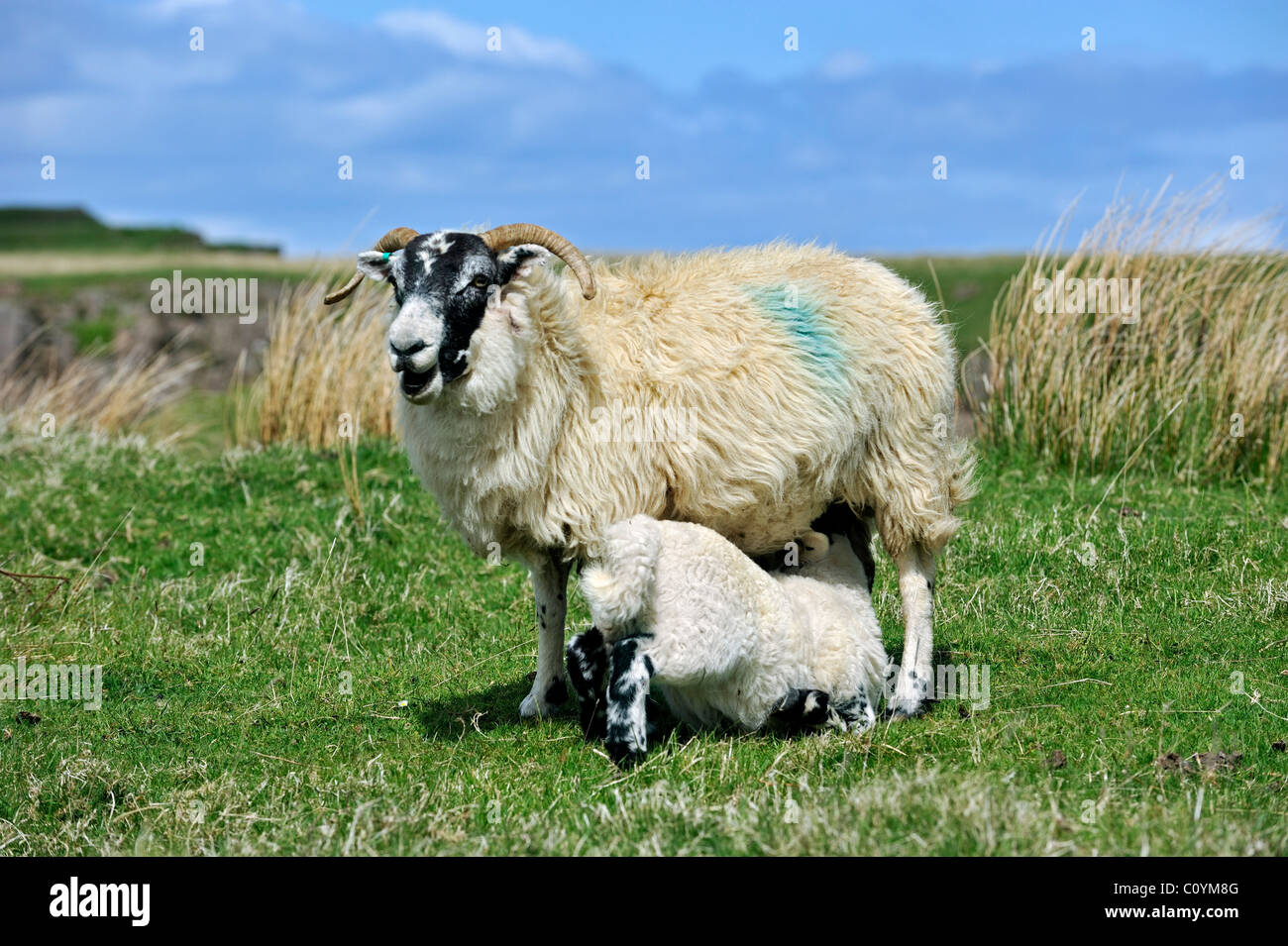 Scottish Black Faced / Blackface Sheep (Ovis aries) ewe suckling lamb in field in the Highlands, Scotland, UK - Stock Image