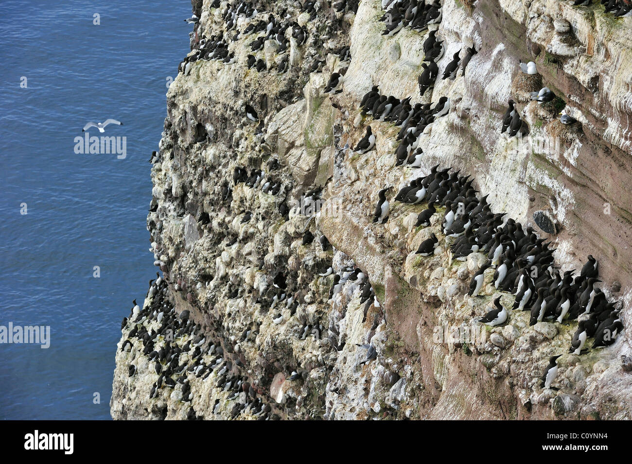 Common Murres / Common Guillemots (Uria aalge) nesting colony on cliffs at the Fowlsheugh nature reserve, Scotland, Stock Photo