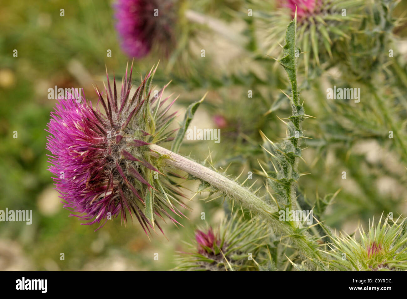 Musk Thistle, carduus nutans - Stock Image