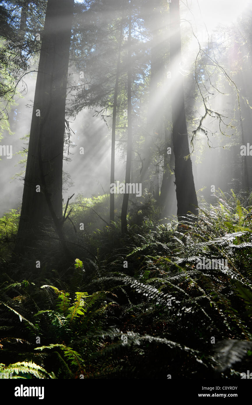 View through trees on Damnation Creek Trail, Del Norte Coast Redwoods State Park, California - Stock Image