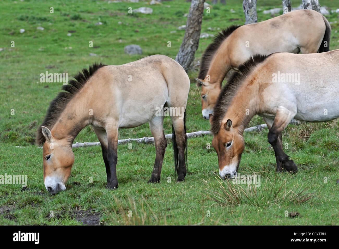 Przewalski's Horses (Equus ferus przewalskii) grazing in field, Scotland, UK - Stock Image