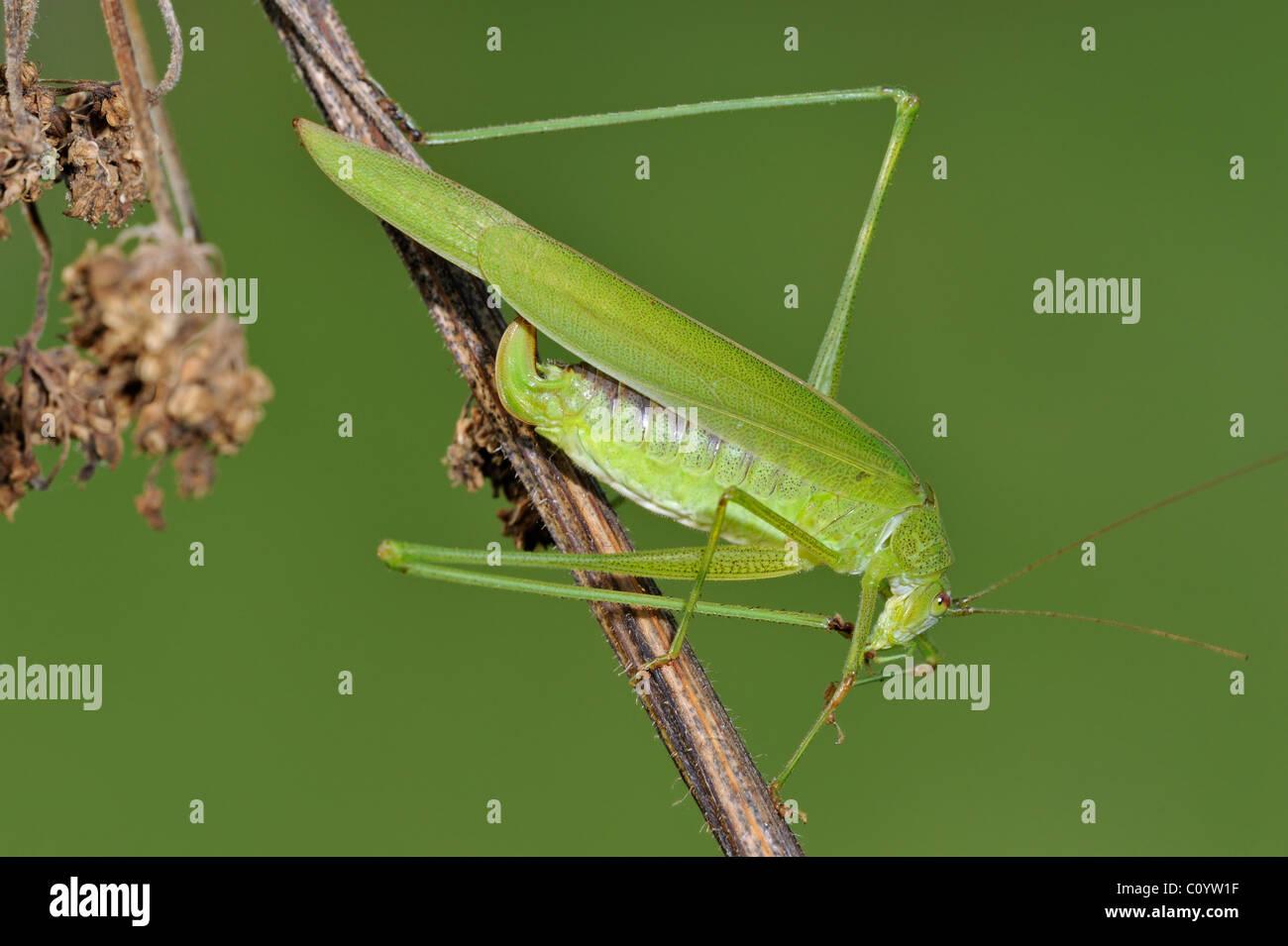 Sickle-bearing Bush-cricket (Phaneroptera falcata) cleaning foot, Belgium - Stock Image