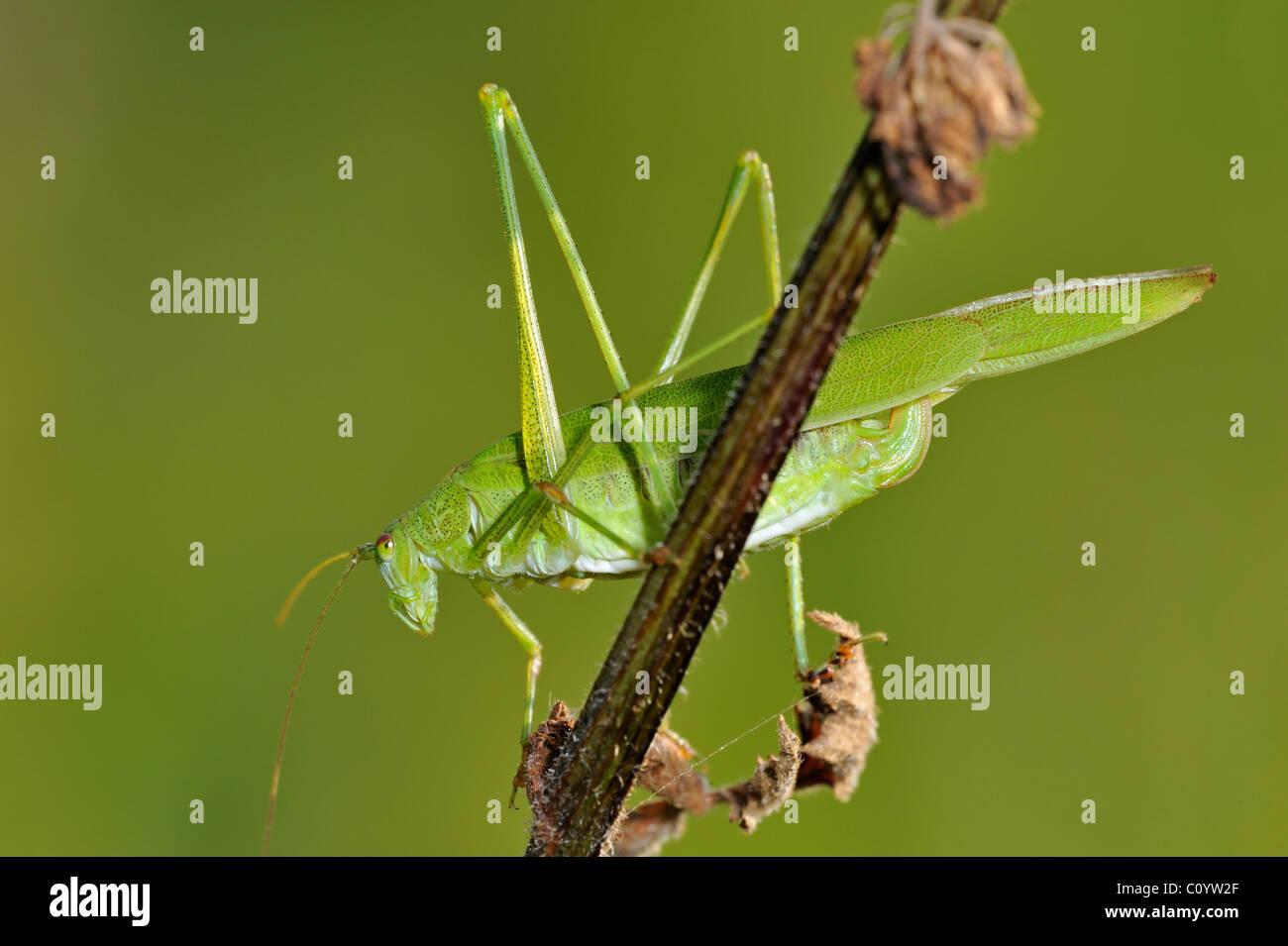 Sickle-bearing Bush-cricket (Phaneroptera falcata), Belgium - Stock Image