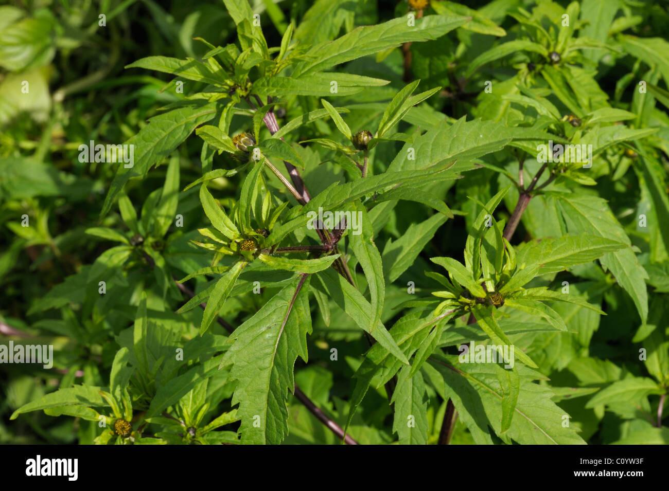 Trifid Bur-marigold, bidens tripartita - Stock Image