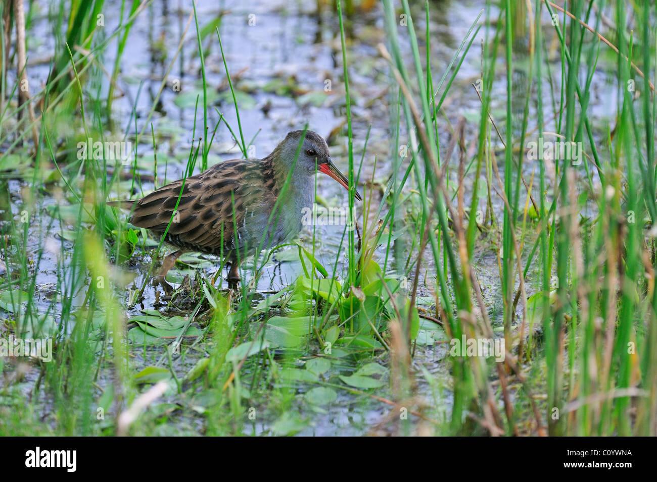 Water Rail (Rallus aquaticus) walking through water vegetation in lake - Stock Image