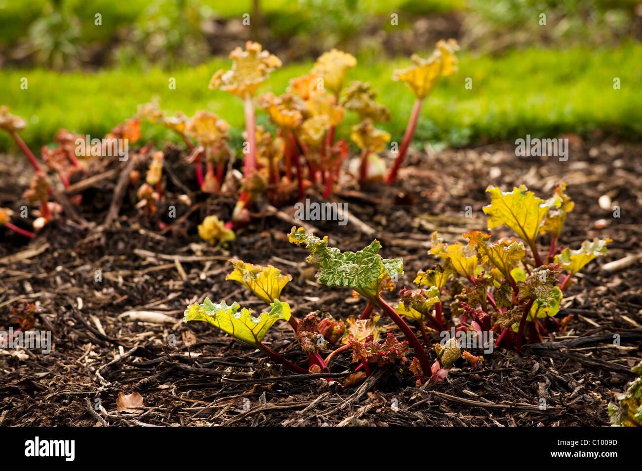 Bed of Rhubarb, Rheum rhabarbarum, sprouting in February - Stock Image
