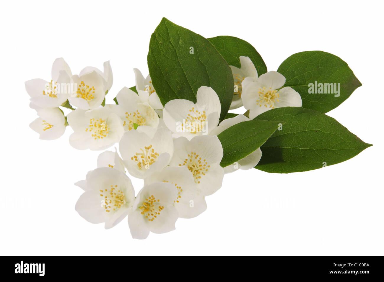 Jasmine flowers - Stock Image