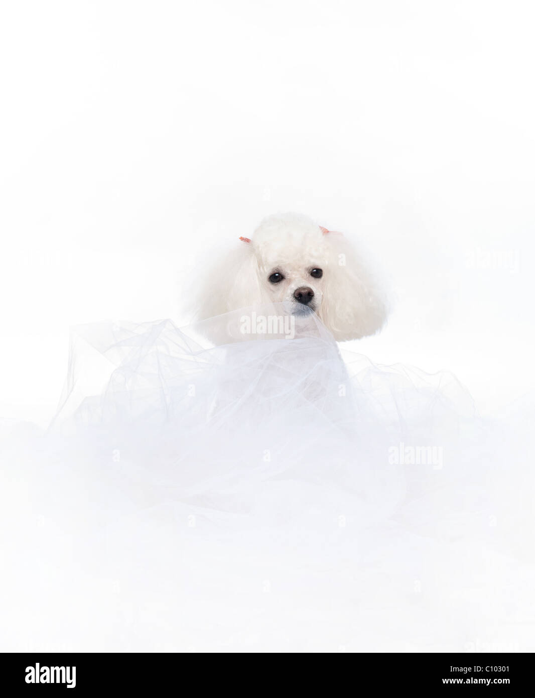 An adorable white toy poodle nestled in white tulle fabric. Shot in the studio isolated on a white seamless backdrop. - Stock Image