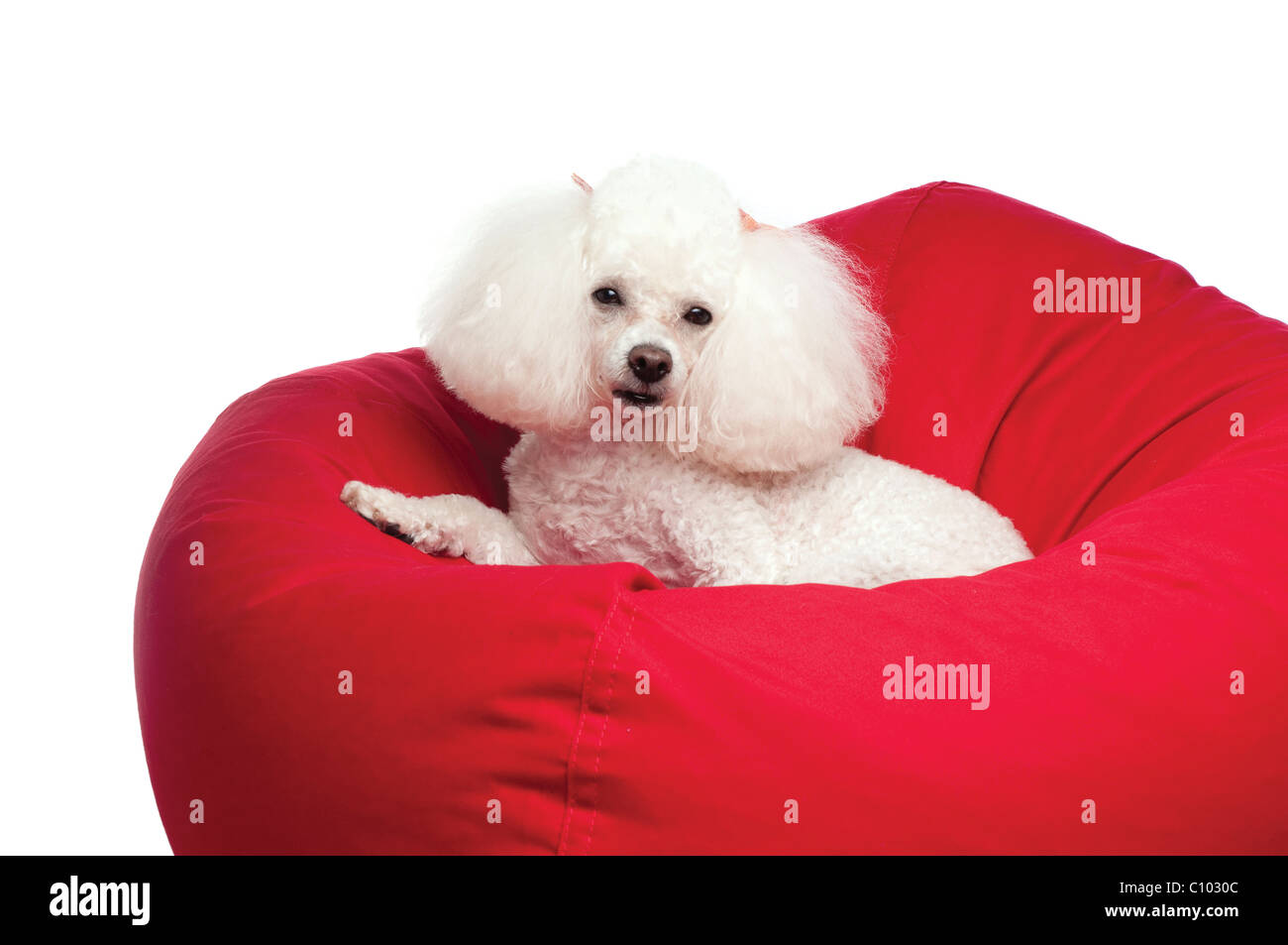 An adorable white toy poodle snuggled up in a red bean bag chair. Shot in the studio on an isolated white seamless - Stock Image