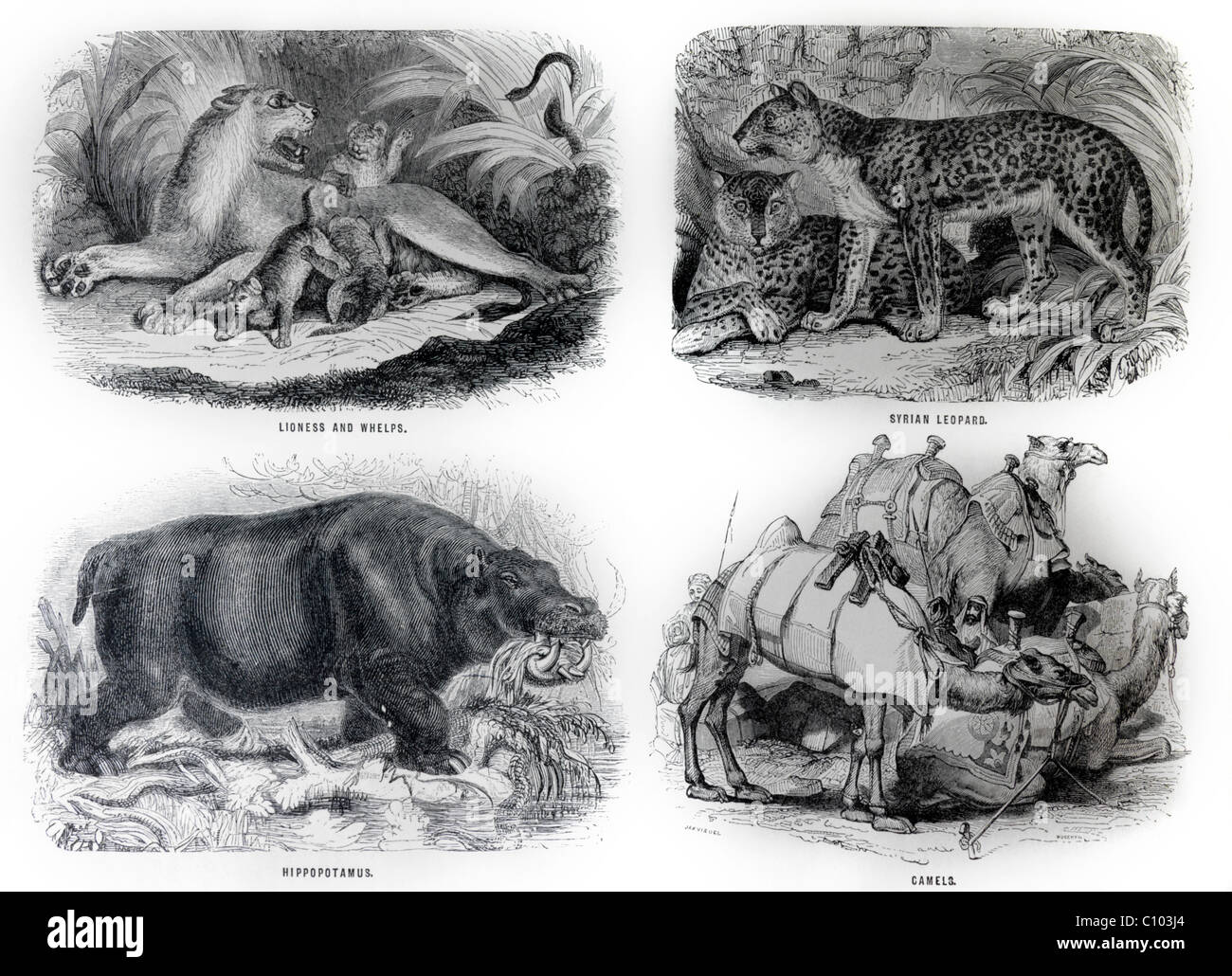 Bible Illustrations Of Animals Lioness and Cubs, Syrian Leopard