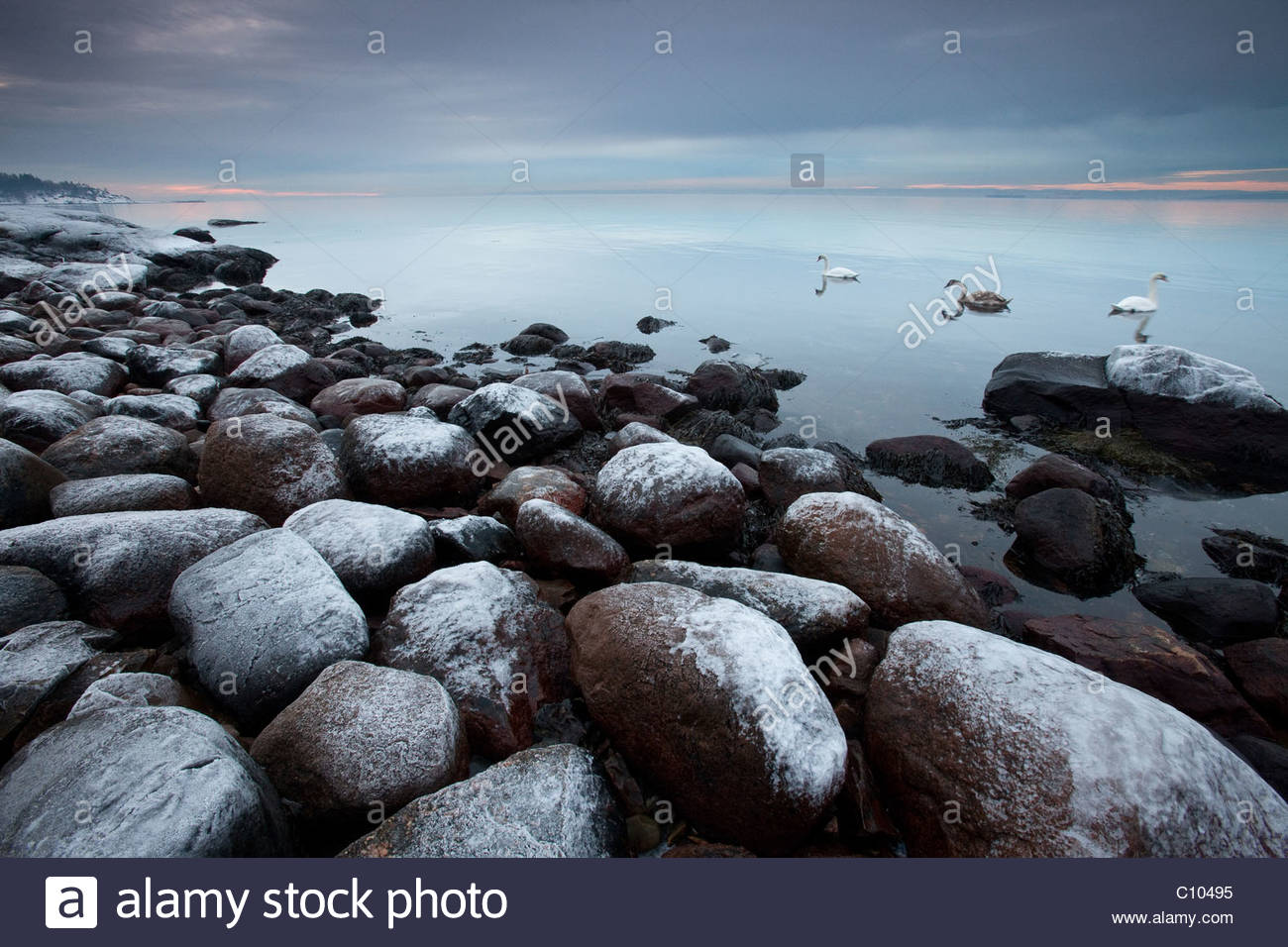 Coastal winter landscape and Mute Swan family at Larkollen in Rygge kommune, Østfold fylke, southeastern Norway. - Stock Image