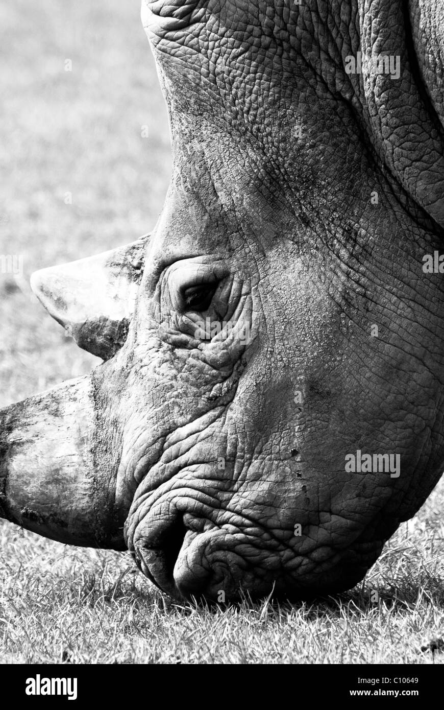 An photo of a rhinoceros eating grass (close up head view) - Stock Image