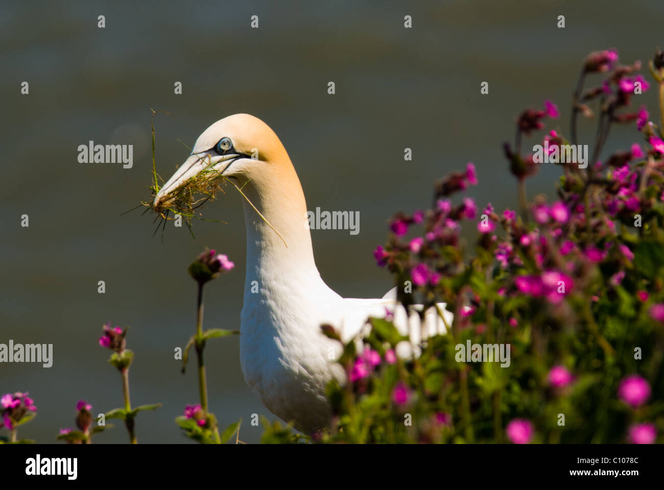 An image of a Gannet (Morus Sulidae) sitting on the edge of a cliff, gathering nesting material to build a nest - Stock Image