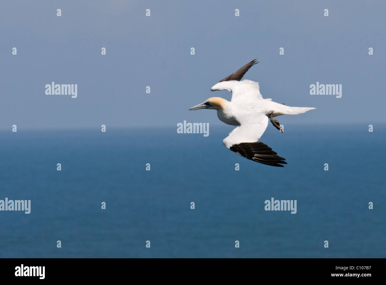 An image of a Gannet ( Morus Sulidae) in flight over the sea - Stock Image