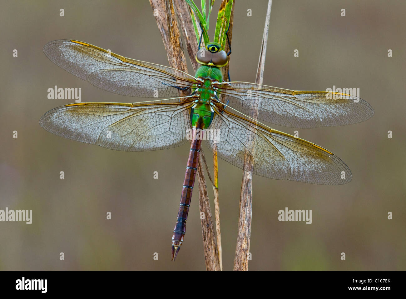 Common Green Darner Dragonfly Anax junius Eastern North America - Stock Image