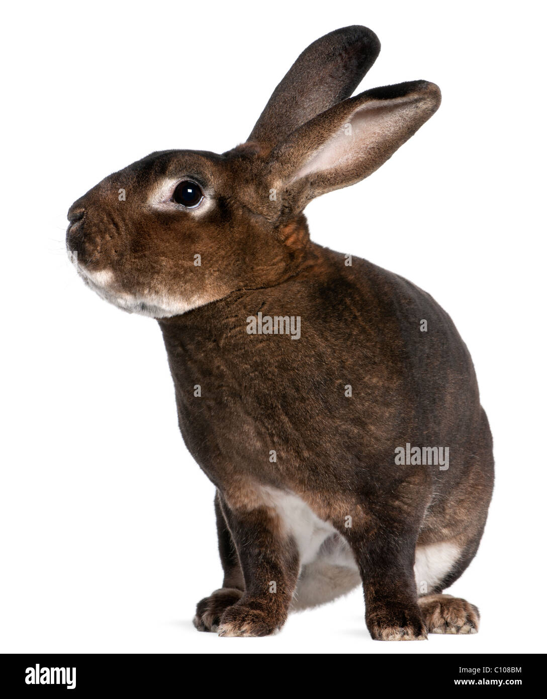 Castor Rex rabbit in front of white background - Stock Image