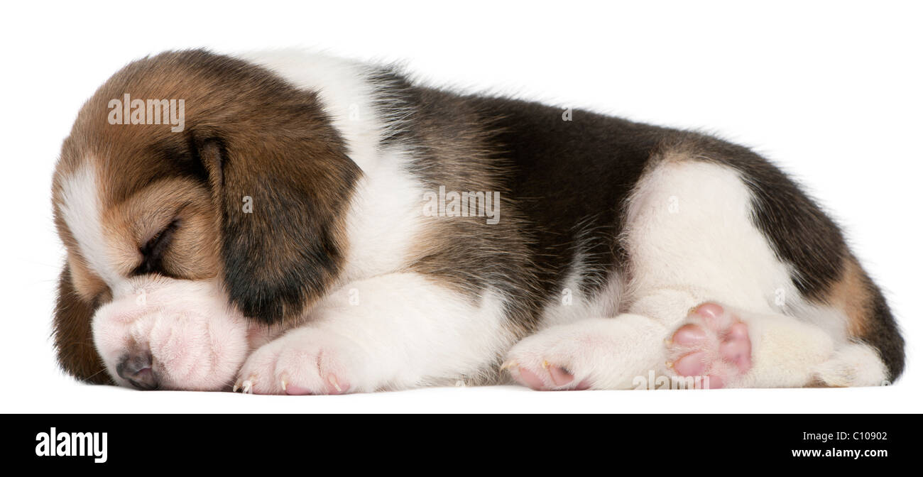 Beagle Puppy, 1 month old, lying in front of white background - Stock Image