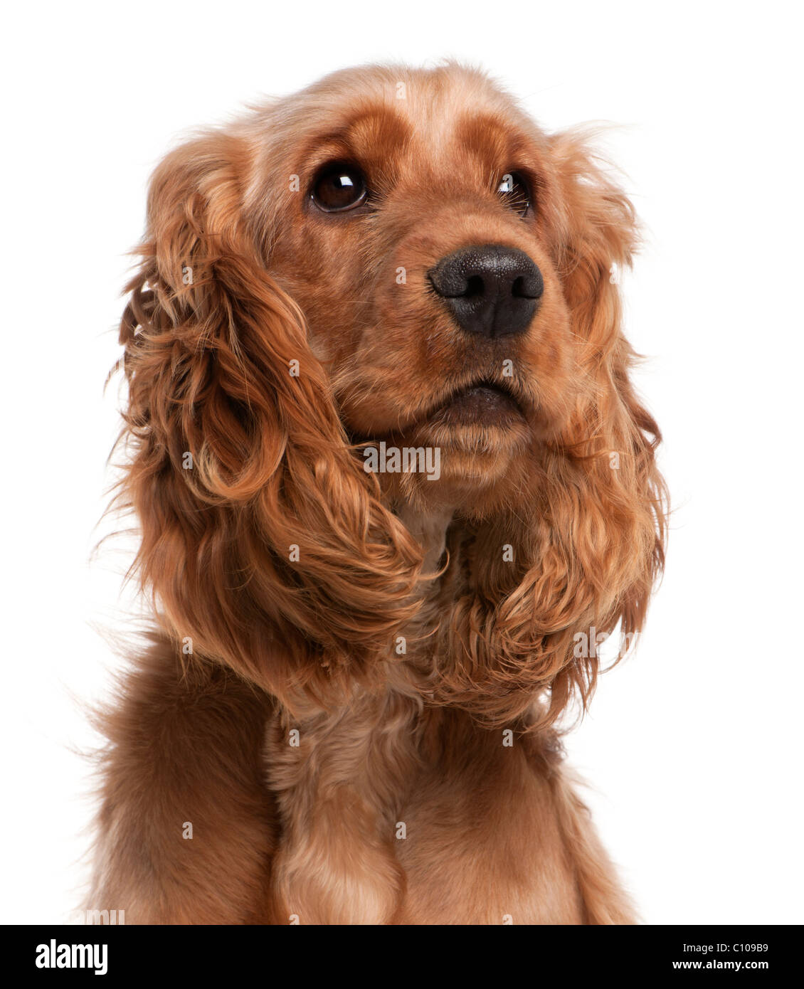English Cocker Spaniel, 2 years old, in front of white background - Stock Image
