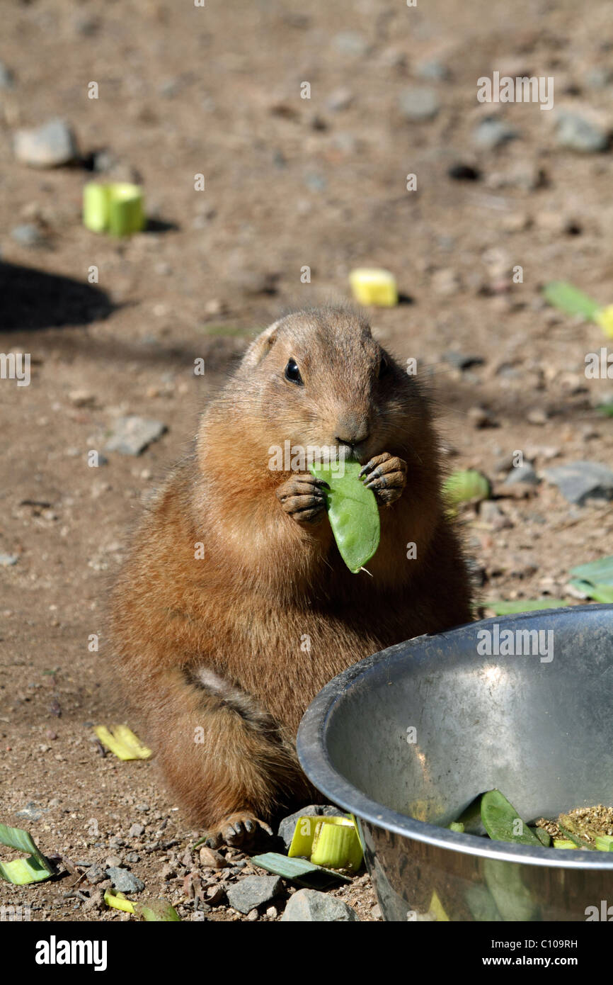 A Black-tailed Prairie Dog, Cynomys ludovicianus, standing and eating a pea pod. Bergen County Zoo, Paramus, New - Stock Image