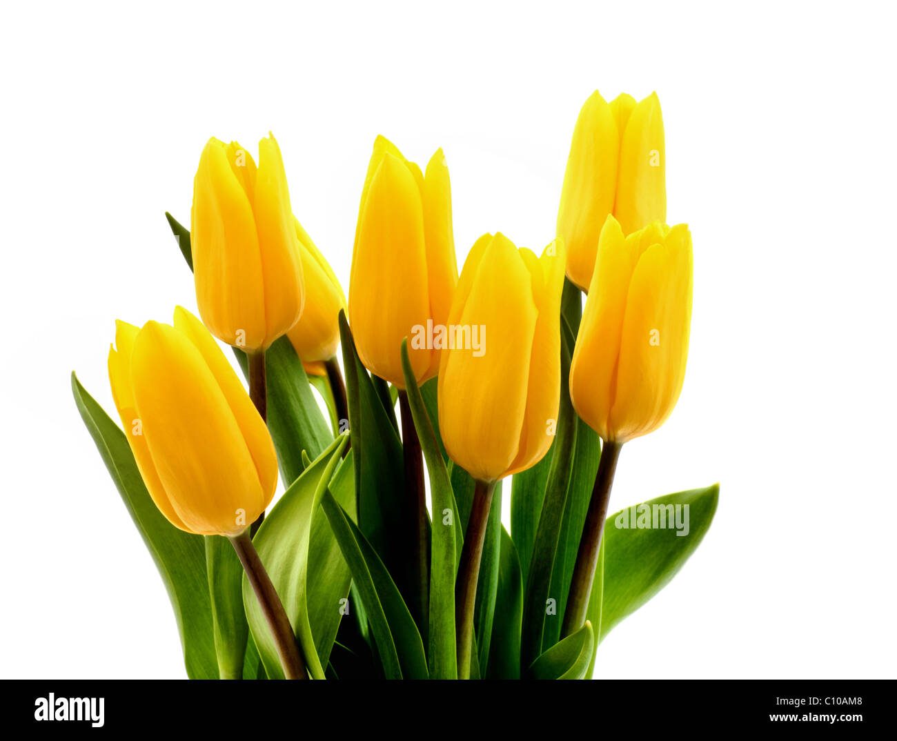 Fresh yellow tulips on a pure white background - Stock Image