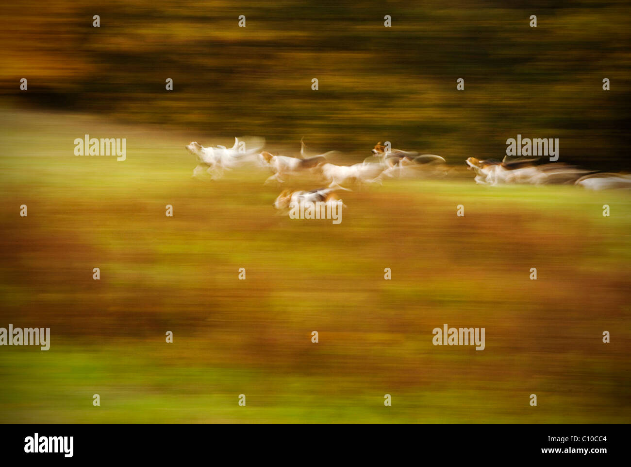 A group of foxhounds on the hunt for a fox in Virginia. - Stock Image